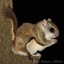 flyingsquirrel.jpg